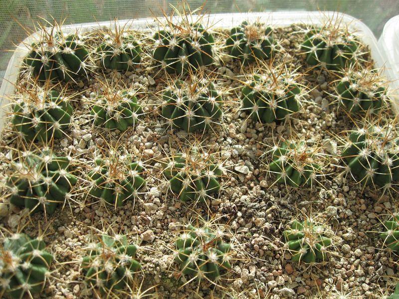 Melocactussaludorensis.jpg
