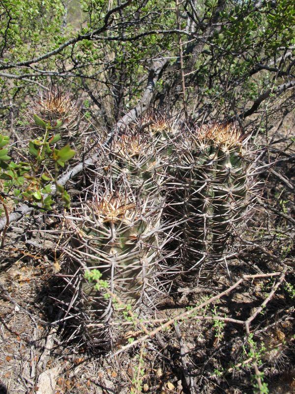 1-Austrocactus.jpg