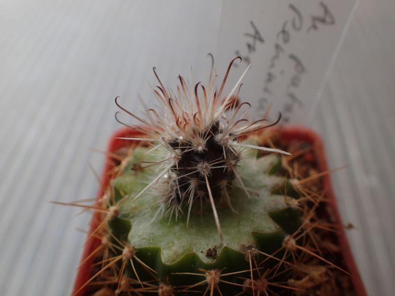 Austrocactus10-8-20175.JPG