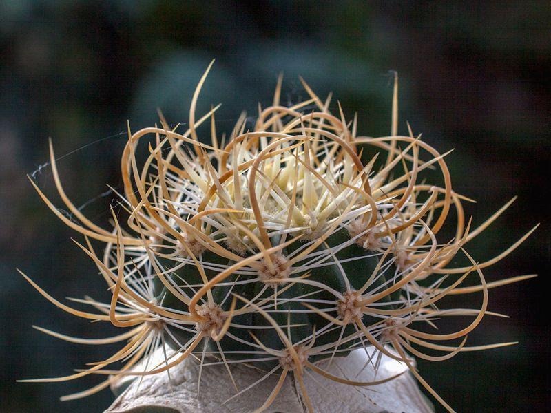 Echinocereuslindsayifgoldspines.jpg