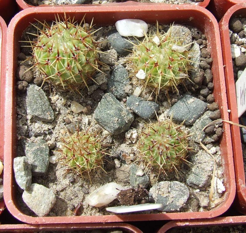Notocactusbuiningii.jpg