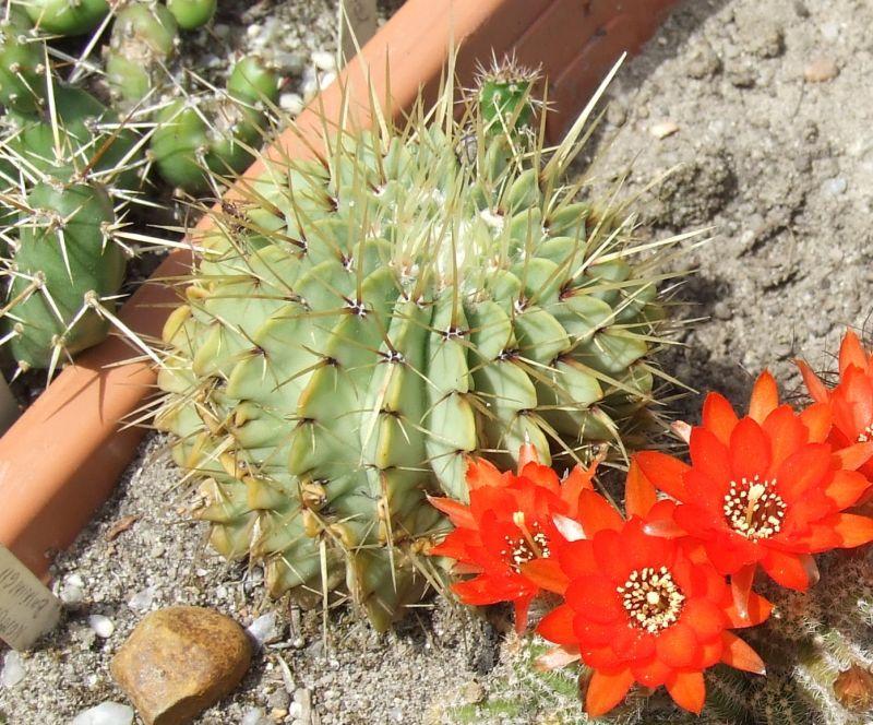 Notocactusbuiningii1.jpg