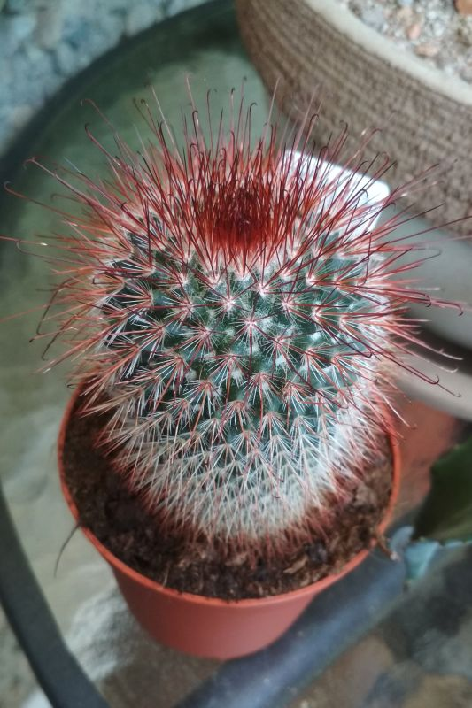 Mammillaria1.jpg