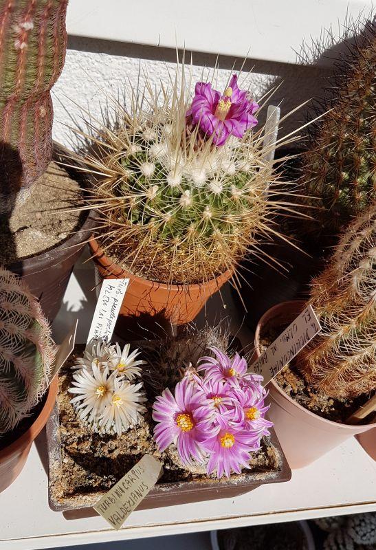 Kaktusysmes2018_05.jpg