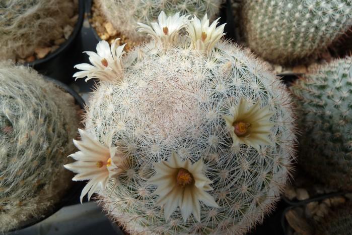 Mammillariacandida.JPG