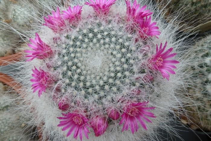 Mammillariahahniana.JPG