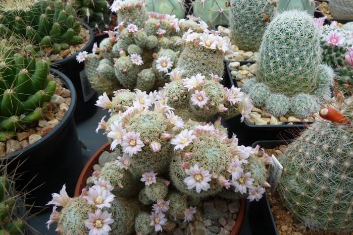 MammillariaschiedeanagiselaeML677.JPG