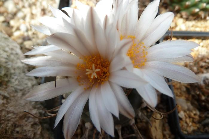 Turbinicarpusschmiedeckianus.JPG