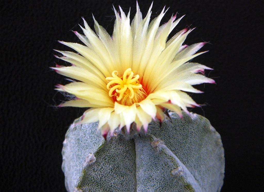 A.coahuilense-1.jpg