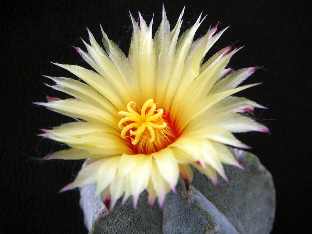 A.coahuilense-2.jpg