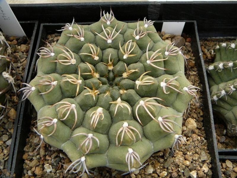 G.ochoterenaev.tenuispinum.jpg
