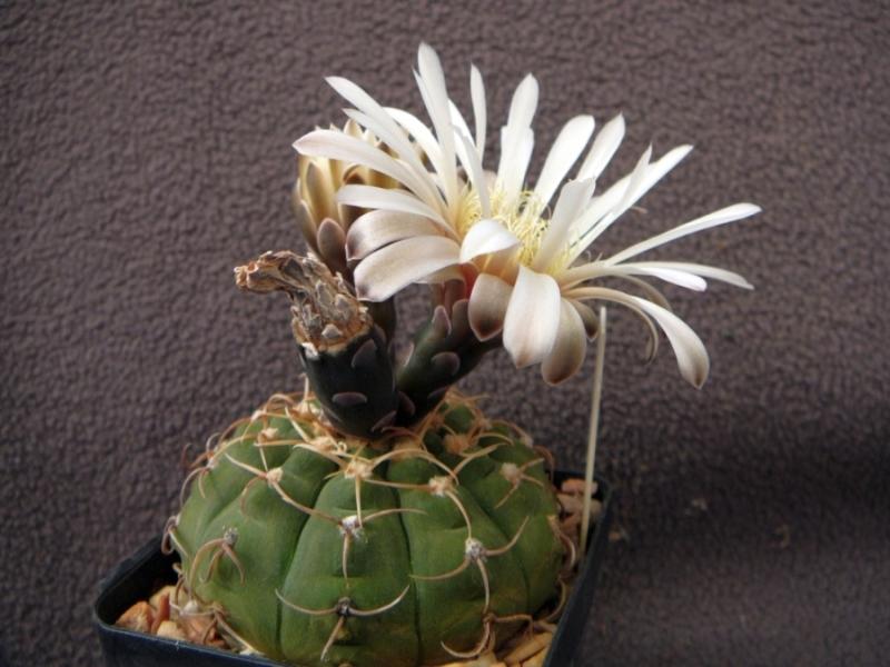 G.ochoterenaev.variispinum.jpg