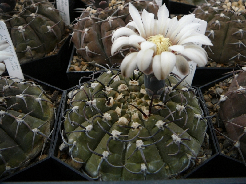 G.riojensessp.paucispinum1.jpg