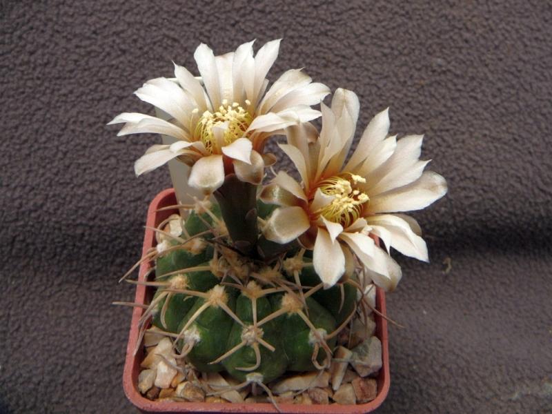 G.triacanthum.jpg