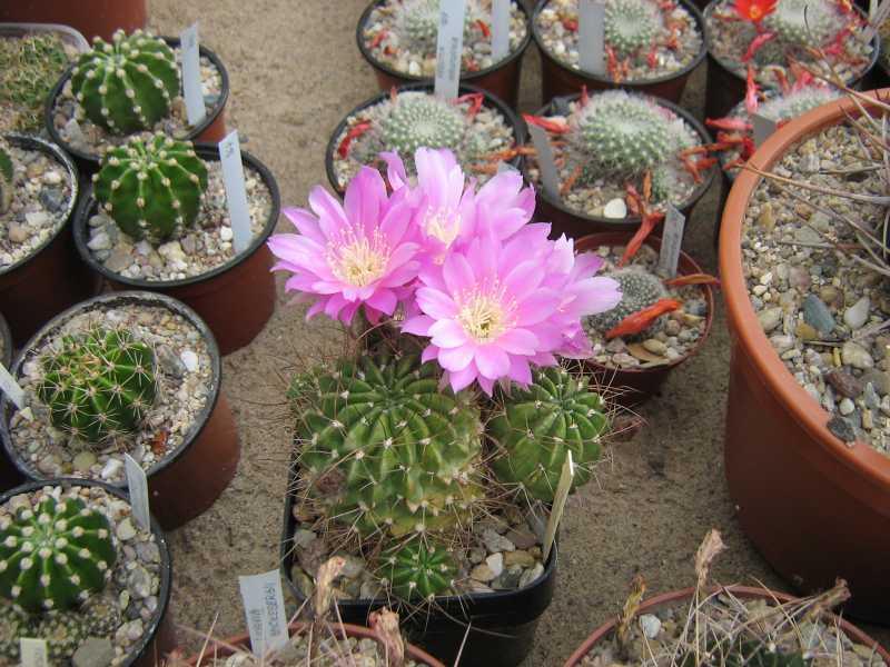 Echinopsis_pentlandii_0054_PZ_2010.06.14_1.JPG